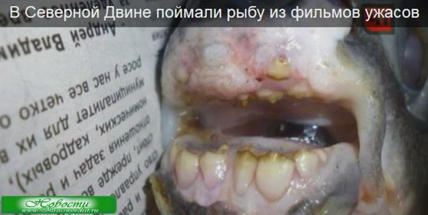 В Северной Двине поймали рыбу из фильмов ужасов