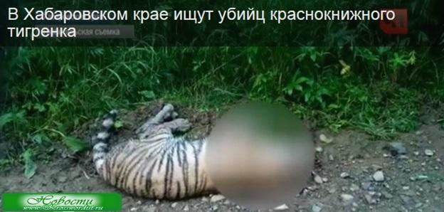 Хабаровская полиция ищет убийцу тигренка