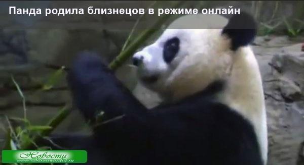 Панда родила близнецов в режиме онлайн